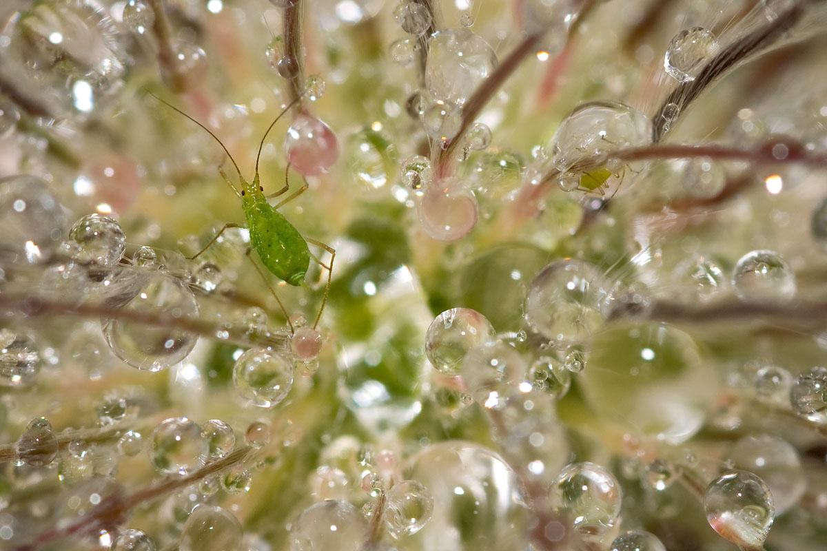 Laus mit Regentropfen