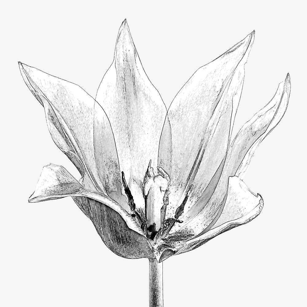 Tulpenpanorama als SW-Grafik